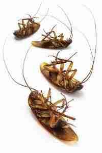 Pest Control Service Northeast Oklahoma and Southeast Kansas Dead cockroaches