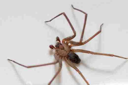 3 Ways to Prevent Brown Recluse Spiders